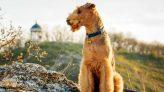 Airedale Terrier Resimleri