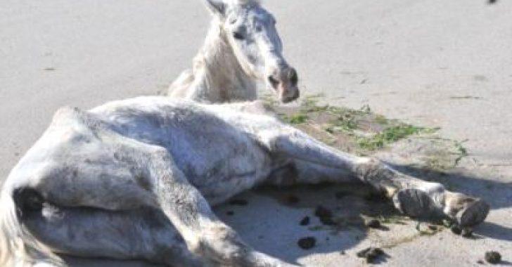 Atlarda Karaciğer Yetmezliği