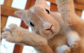 Tavşanlarda Ayak Apseleri