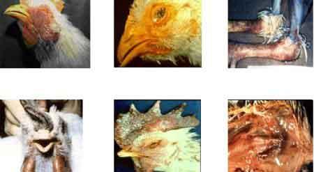 Tavuklarda Şişkin Baş Hastalığı