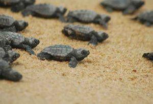 yavru kaplumbağa